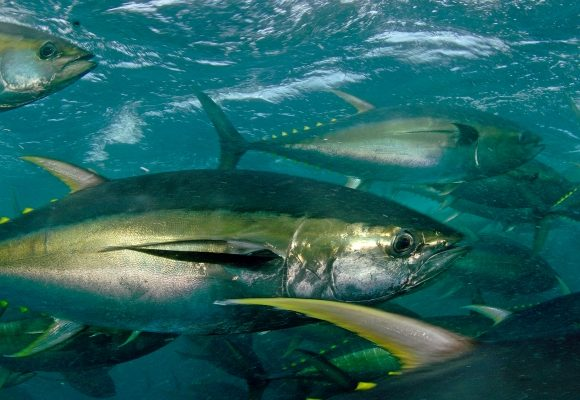 La Flota Atunera Congeladora, líder y referencia mundial en pesca sostenible de túnidos tropicales.