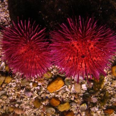 Paracentrotus_lividus_001_-_Aquarium_Finisterrae