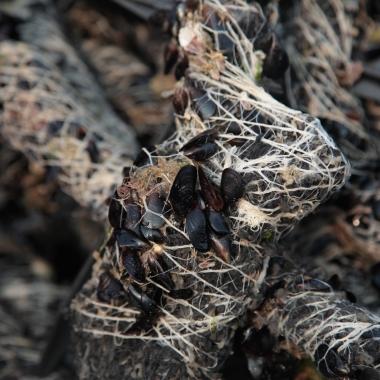 semilla de mejillon