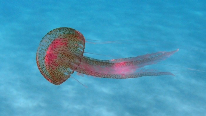 medusa Pelagia_noctiluca