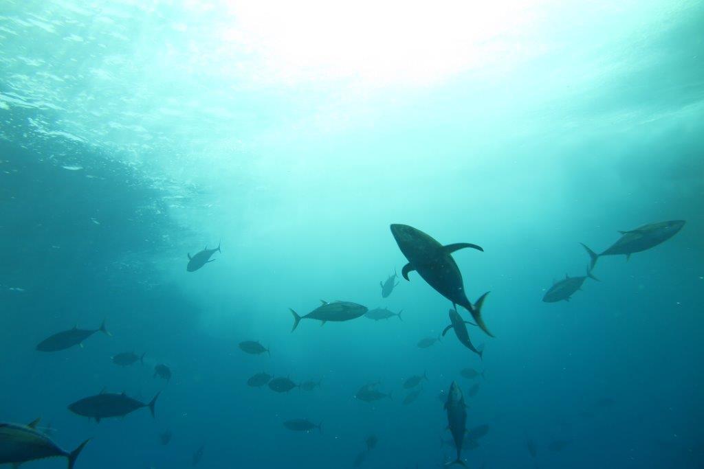 atunes en la mar gestion pesquera