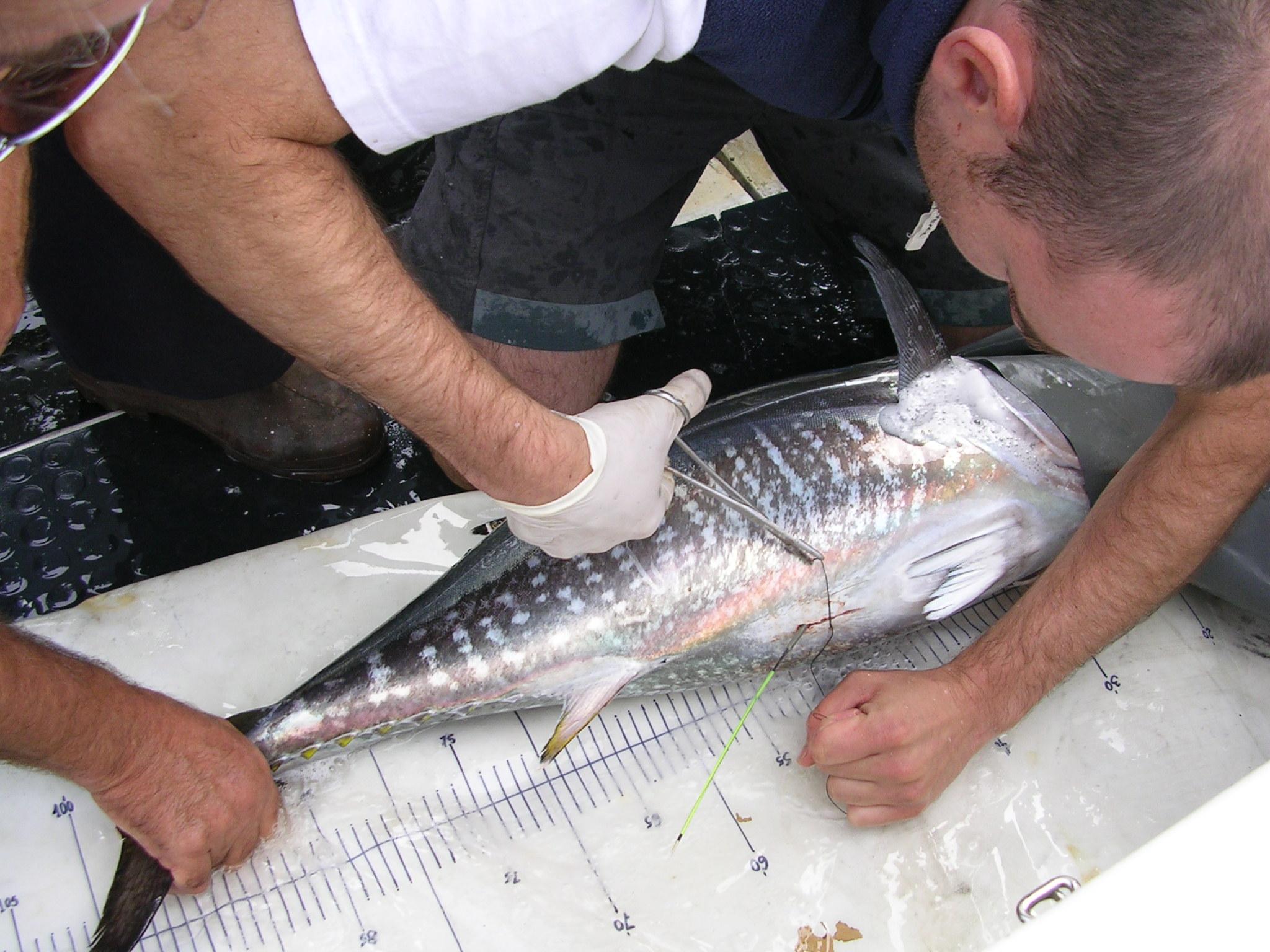 marcado de atunes