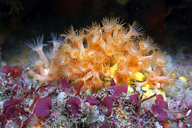Anemona- incrustante-amarilla-fondo-marino-ambi