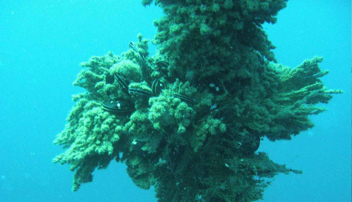 molúscos de acuicultura