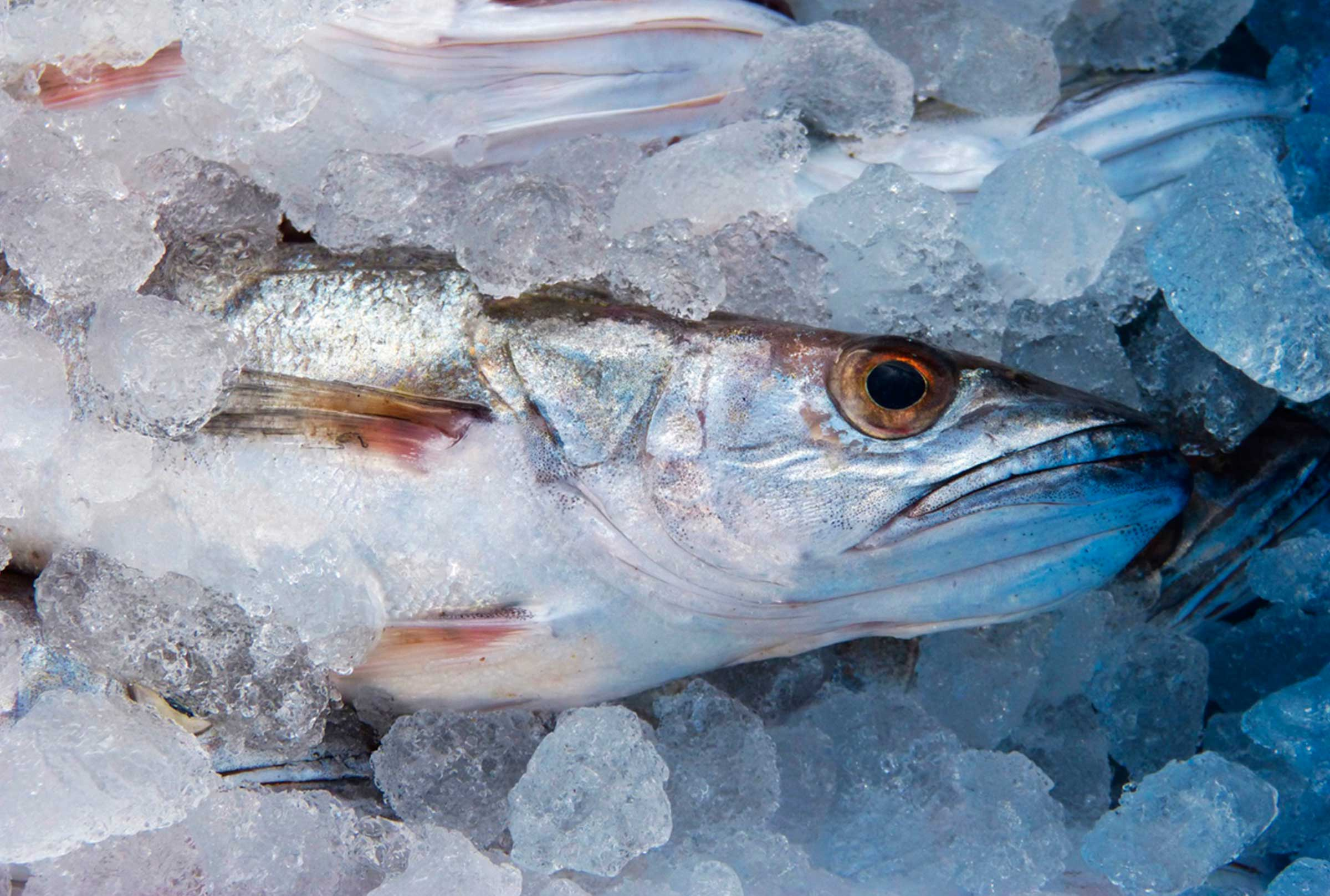 fremer-pescado-hielo-frio-mar-azti